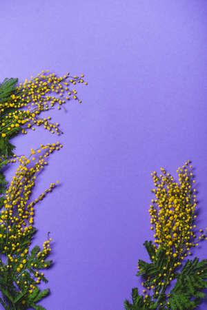 Mimosa silver wattle branch on purple background