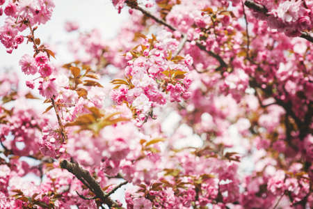 Beautiful pink sakura flower bloom spring background