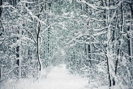 Winter forest background with pathway on snowy weather.