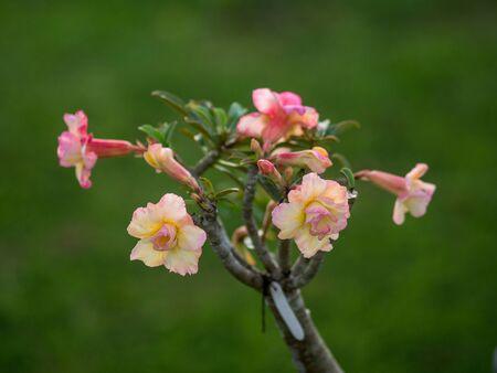 desert rose: ademiun , the yellow and pink desert rose