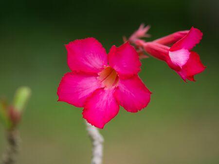 desert rose: ademiun , the   pink desert rose