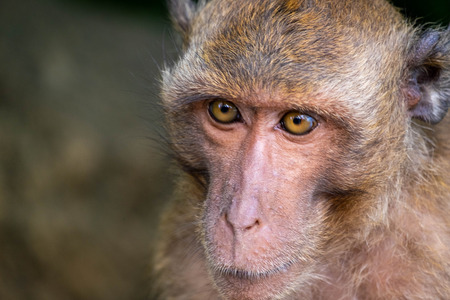 Monkeys depict emotions and behaviors in a natural way. Stock Photo