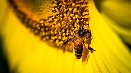 Soft Focus,Close up,Low light macro,The camera can capture the bees eating nectar from the sunflower, the bees pollinate the sunflower according to the duties received from nature.