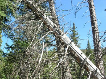 Fallen pine tree Stock fotó