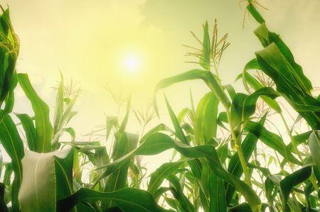 Hoge maïs veld tegen zomerzon  Stockfoto