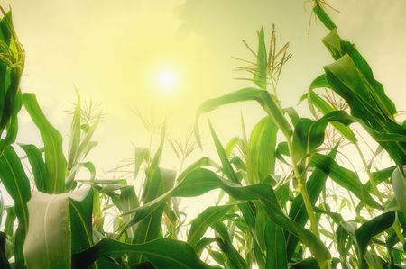 Tall corn field against summer sun  photo