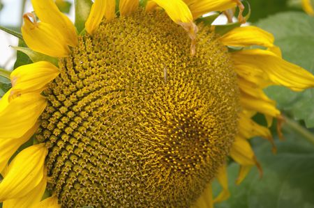 Closeup of Sunflower  photo