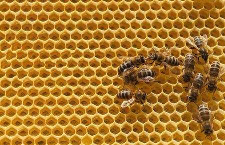 abeja reina: las c�lulas de la miel y las abejas de trabajo