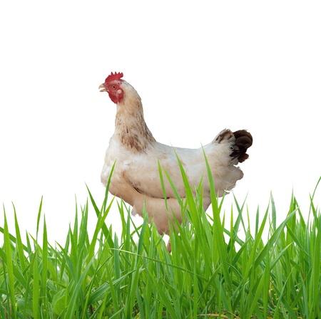 aves de corral: gallina, aislada en blanco
