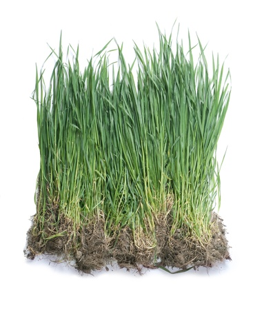 Green grass showing roots  Stock Photo - 9506977