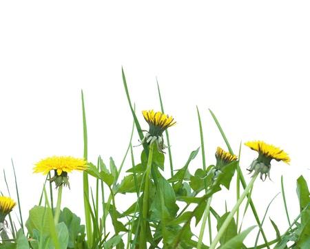 Dandelions closeup  photo
