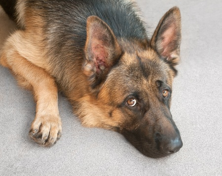 Closeup of a German shepherd dog, leaning on ground with sad face  photo