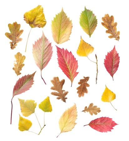 herbarium: set of yellow and red leaves, isolated on white background  Stock Photo