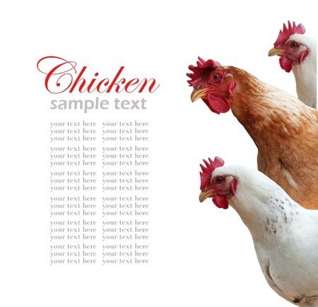 hen isolated on white photo