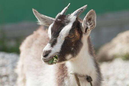 yeanling: Young Goat  Stock Photo