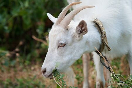yeanling: white goat