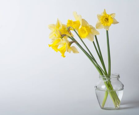 beautiful yellow narcissus photo