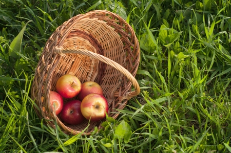 Apples in the Basket. photo