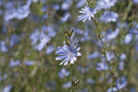 endivia: flores de color azul de achicoria común de cerca en verano Foto de archivo