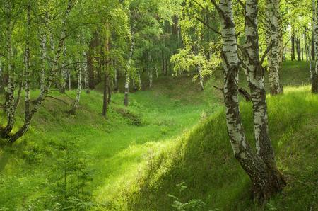 birchwood: Beautiful landscape - summer birchwood