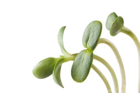 sprouts: green young sunflower sprouts Stock Photo