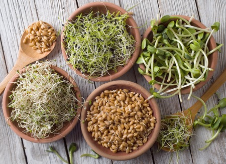 germinated seeds of alfalfa, wheat, onions, sunflower Stock Photo