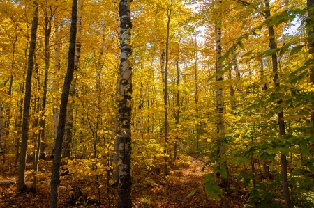 Fall in birch forest
