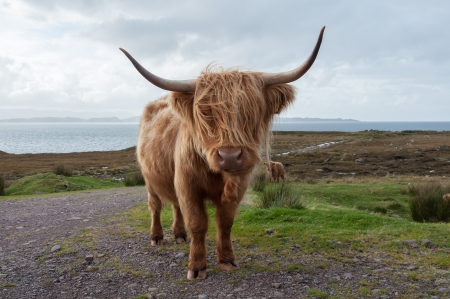 A cow in Scotland