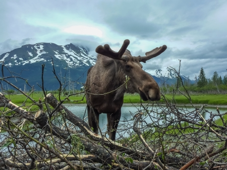 moose: Moose, Alaska Stock Photo