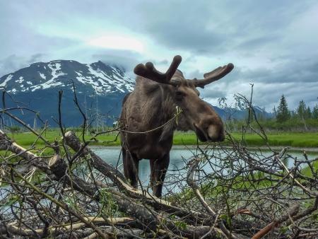 muse: Moose, Alaska Stock Photo