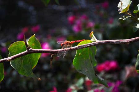 damsels: orange dragonfly