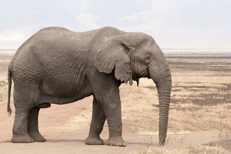 estimated: African old bull Stock Photo