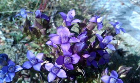 violet flowers: Violet flowers, near Barcelonette