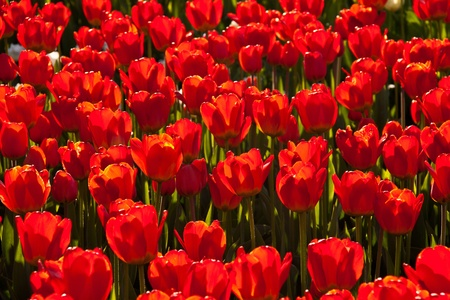 Red tulips background in contre jour like background