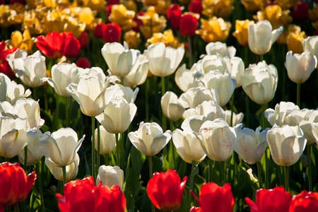 Colorful tulips background in contre jour like background