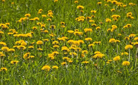 A lot of dandelion flowers in a sunny day in a field of green grass