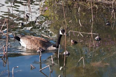 Canadese trekkende wilde ganzen zwemmen op het meer ol lotus vroeg in het voorjaar