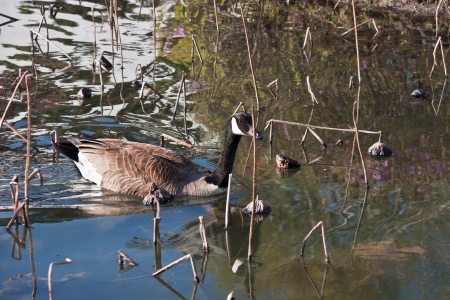 Canadian migratory wild goose swimming on the lake ol lotus early in Spring
