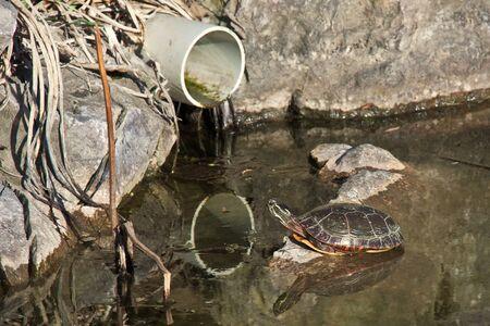 kunststoff rohr: Wenig Florida Schildkr�te auf einem Felsen mit einem Kunststoffrohr Gesicht, alles ist in den Spiegel des Wassers reflektiert Lizenzfreie Bilder