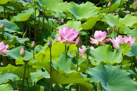 A line of pink lotus flowers in middle of green lotus leafs...in a sunny day
