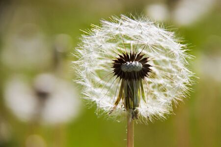 A dandelion flower with seeds in a sunny day in a field