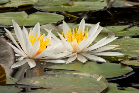 two white large open water lily floating on a lot of large leafs