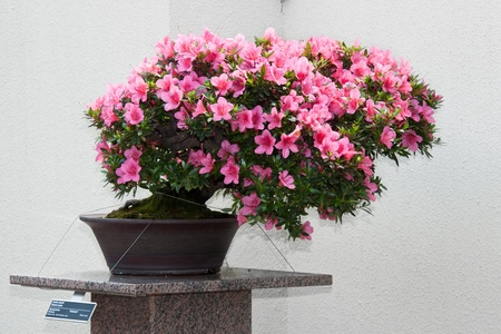 Satsuki Azalea bonsai in flowering boom Stock Photo