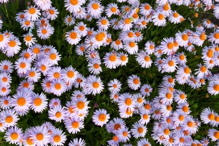 Yun-Nan Aster flowers like background