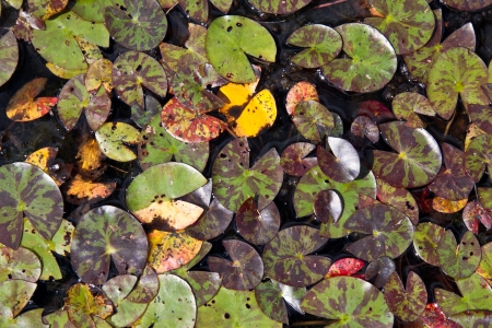 Water lily leafs in the colors of autumn.....