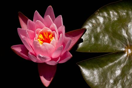 Pink water lily and its leaf isolated in black