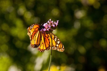 Isolated monarch butterfly on a pink flower with flue background  photo