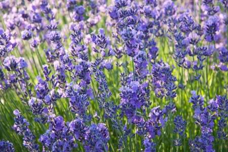 Lavender flowers in contre_jour