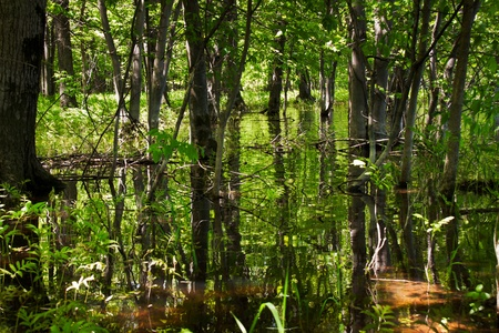 Flood forest, the trees reflect themselves in the water and generate a lot of vertical lines