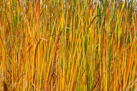 Autumn reeds leafs background